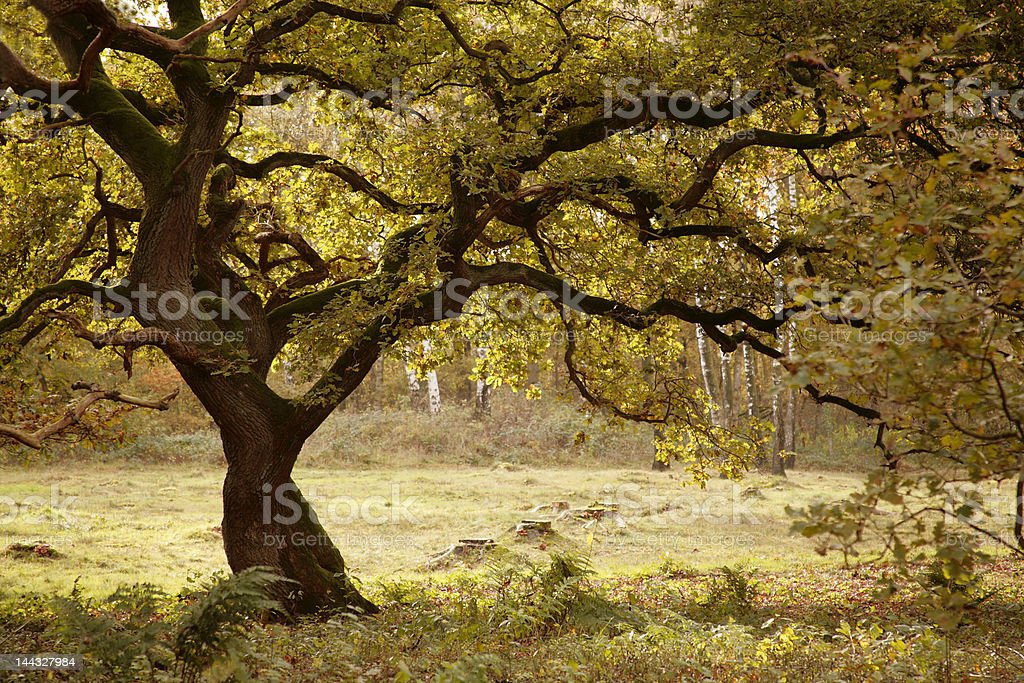oak tree in fall royalty-free stock photo