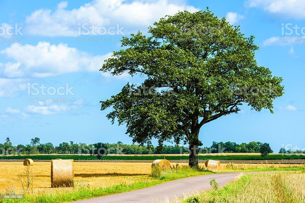 Oak tree in farmland stock photo