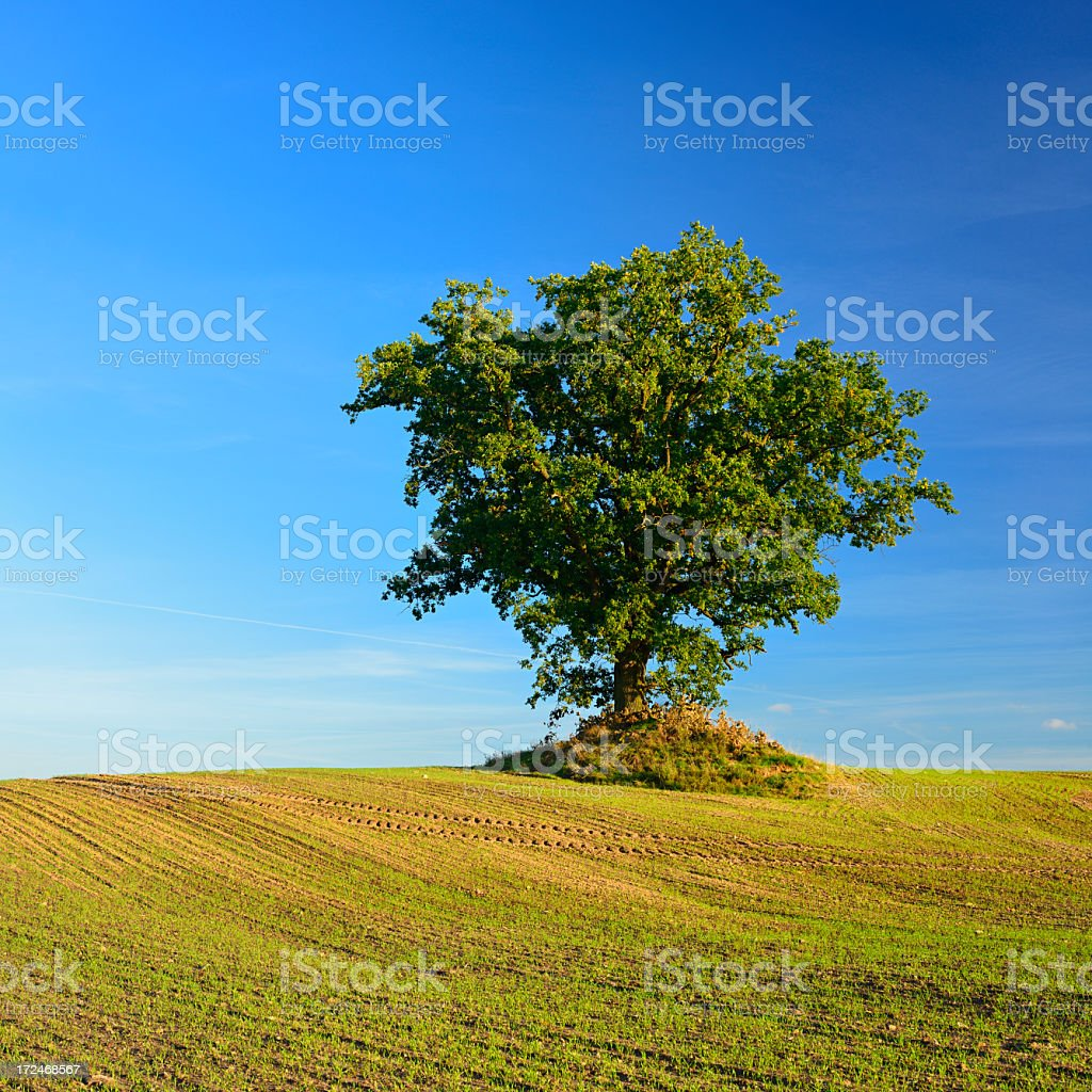Oak Tree in Field Landscape at Sunset royalty-free stock photo