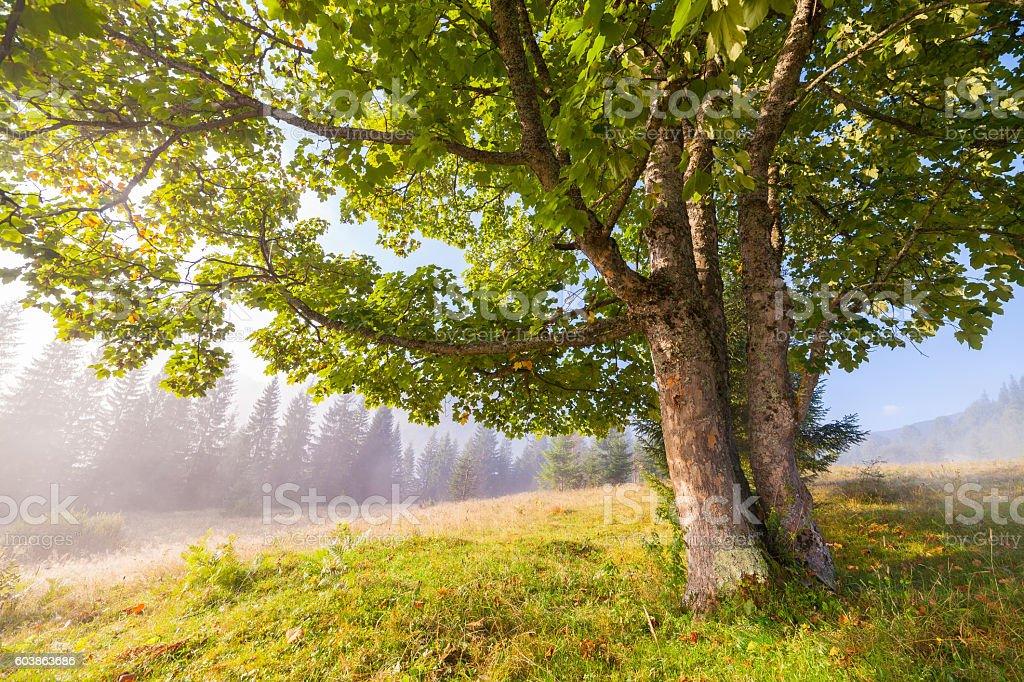 Oak tree in full leaf in summer standing alone. stock photo