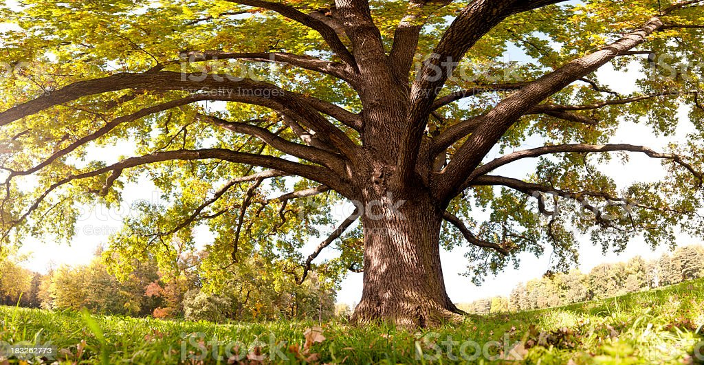 Oak tree in late summer, wide-angle panoramic (frog's eye view). stock photo