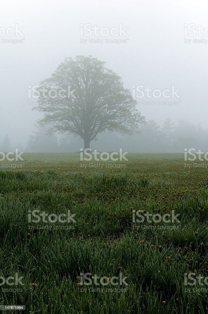 Oak tree in morning fog royalty-free stock photo