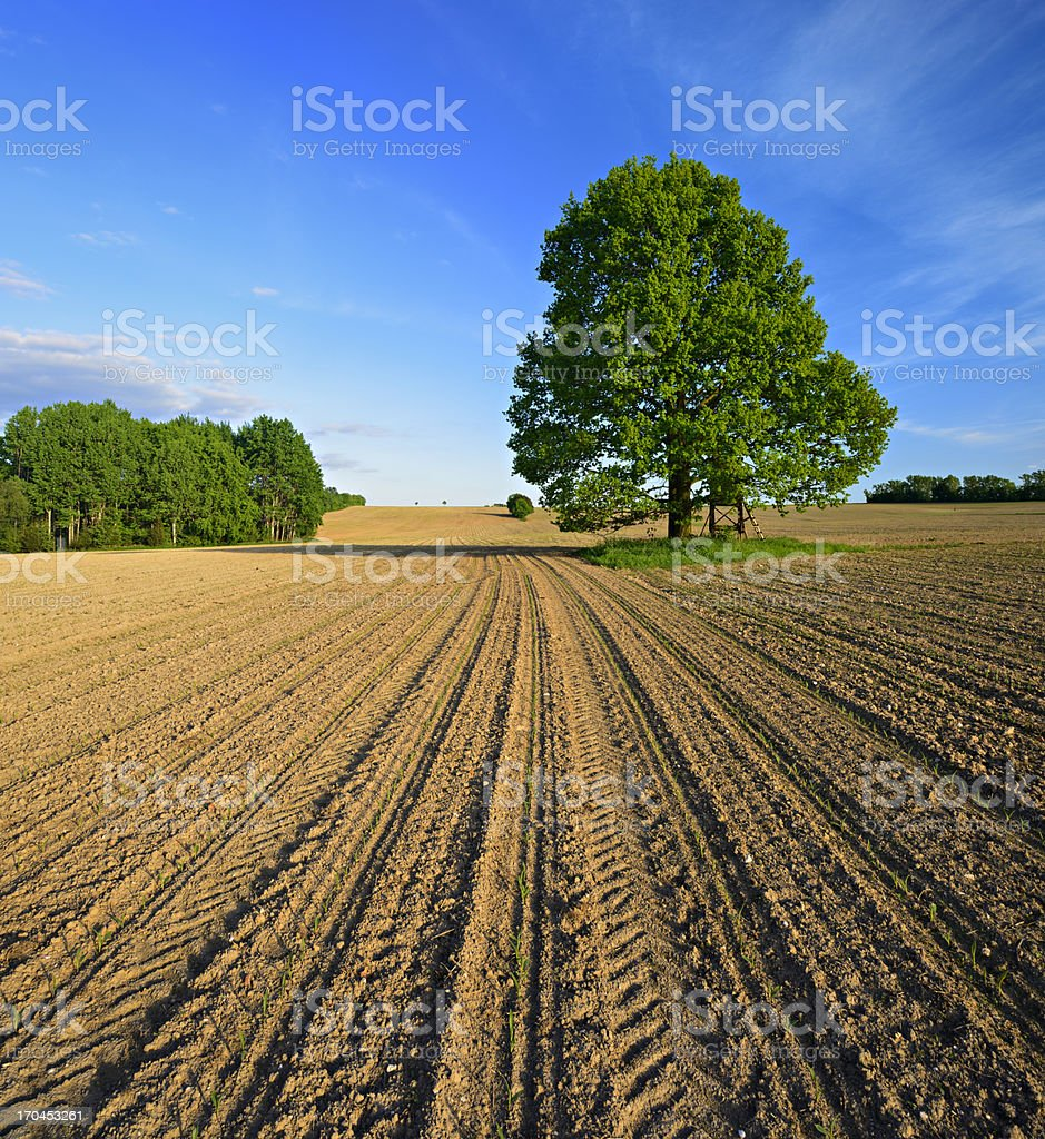 Oak Tree in Plowed Spring Field with Corn Saplings royalty-free stock photo