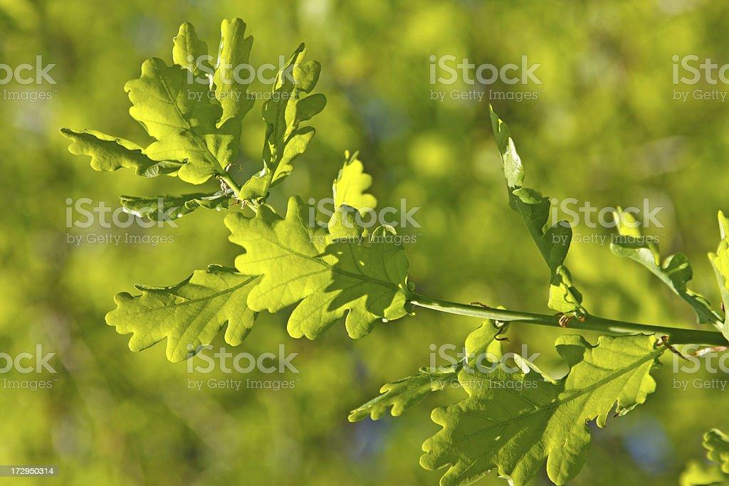 Oak tree in springtime XL royalty-free stock photo