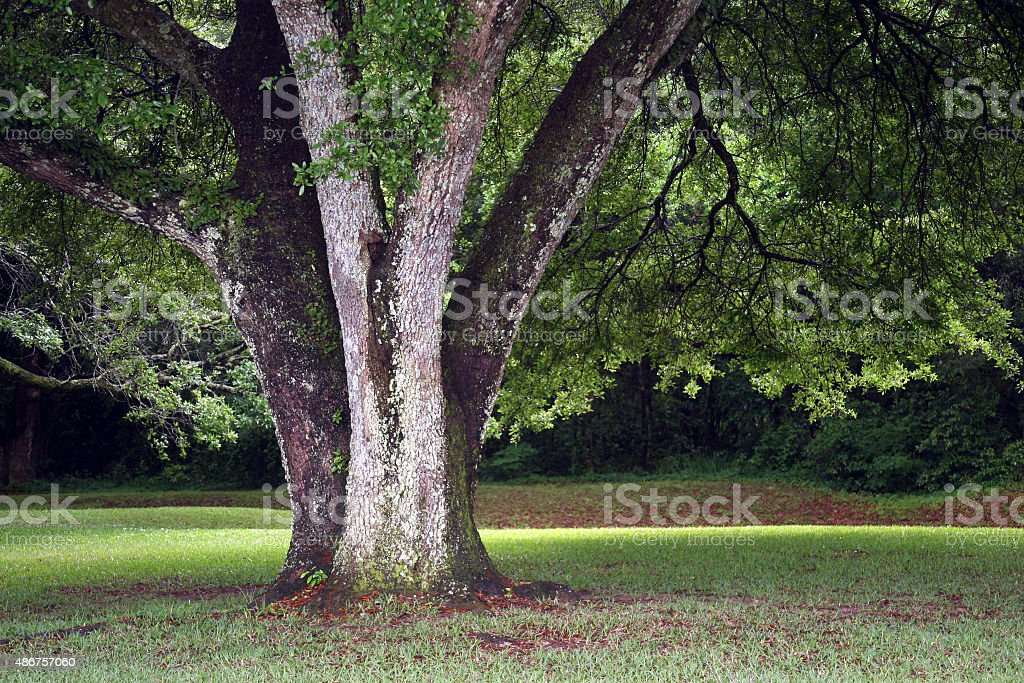 Oak Tree in the Afternoon stock photo