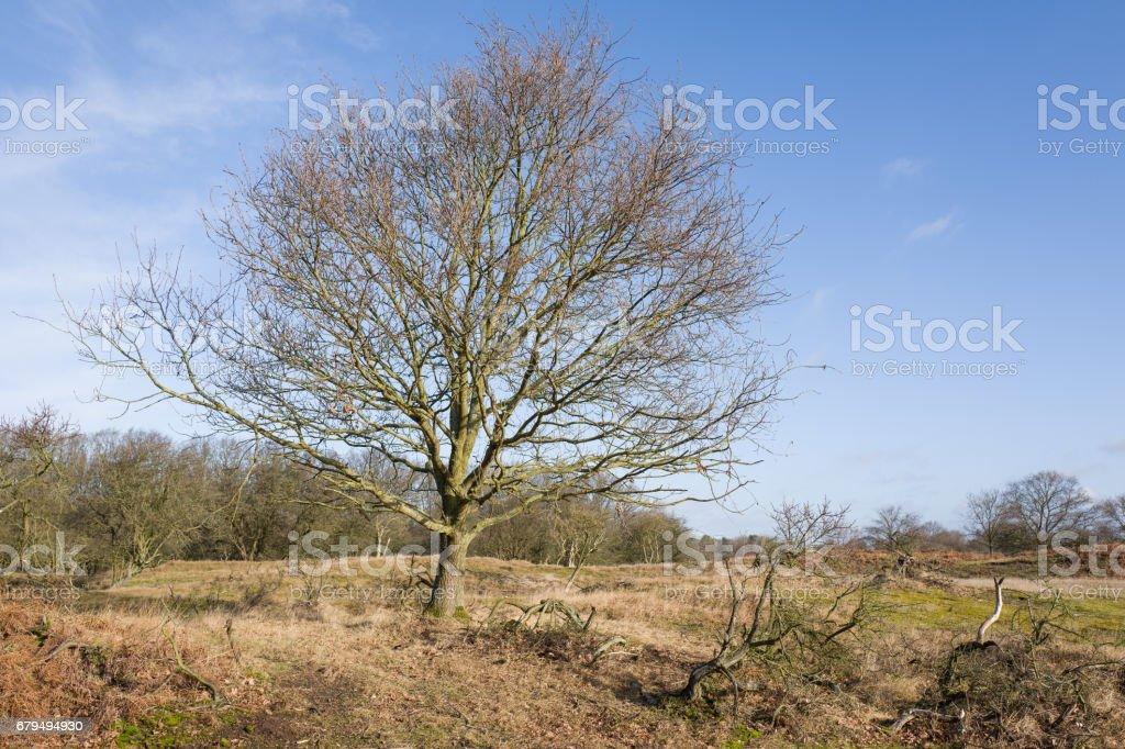 Oak tree in the Amsterdam water abstraction dunes in De Zilk in The Netherlands. stock photo