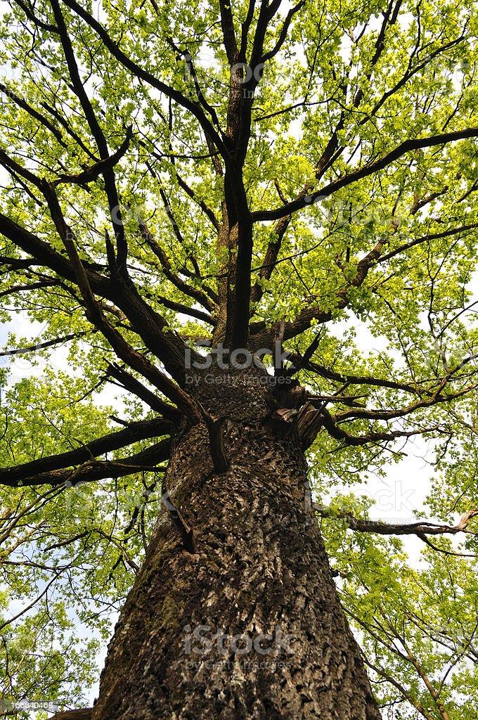 Oak tree in the beginning of spring season royalty-free stock photo