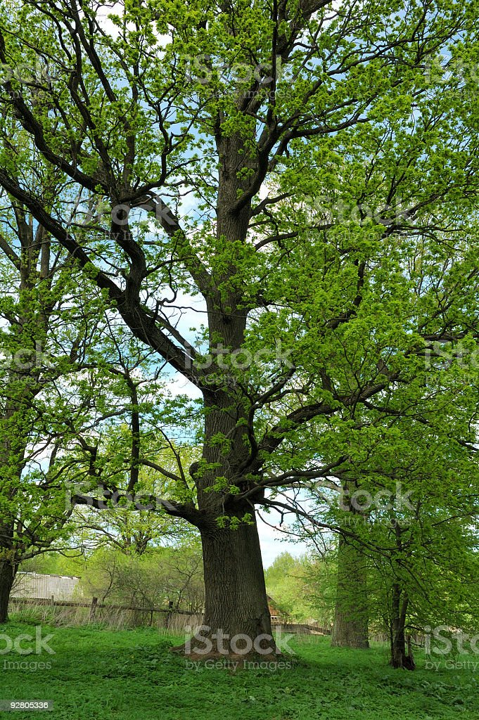 Oak tree in the forest against blue sky royalty-free stock photo