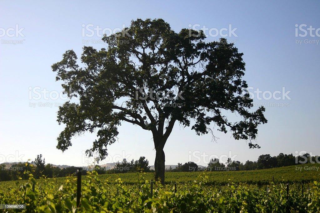 Oak Tree in Vineyard stock photo