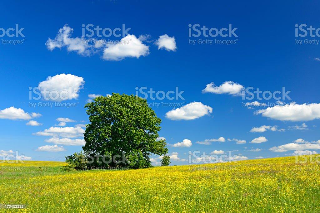 Oak Tree in Wildflower Meadow under Blue Sky royalty-free stock photo