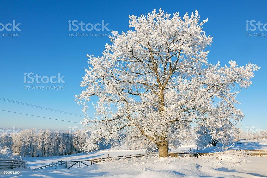 Oak tree in winter stock photo