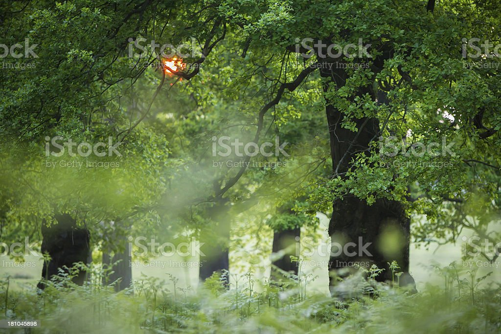 Oak tree -King of the Forest royalty-free stock photo