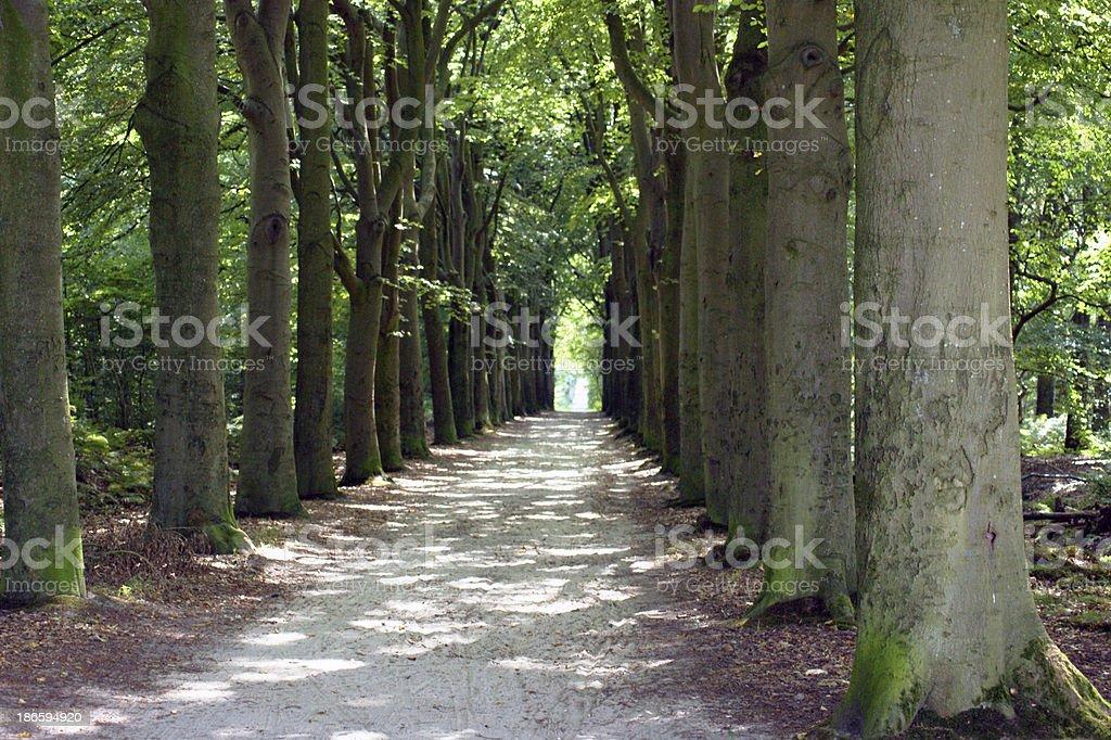 oak tree lane in the Netherlands royalty-free stock photo