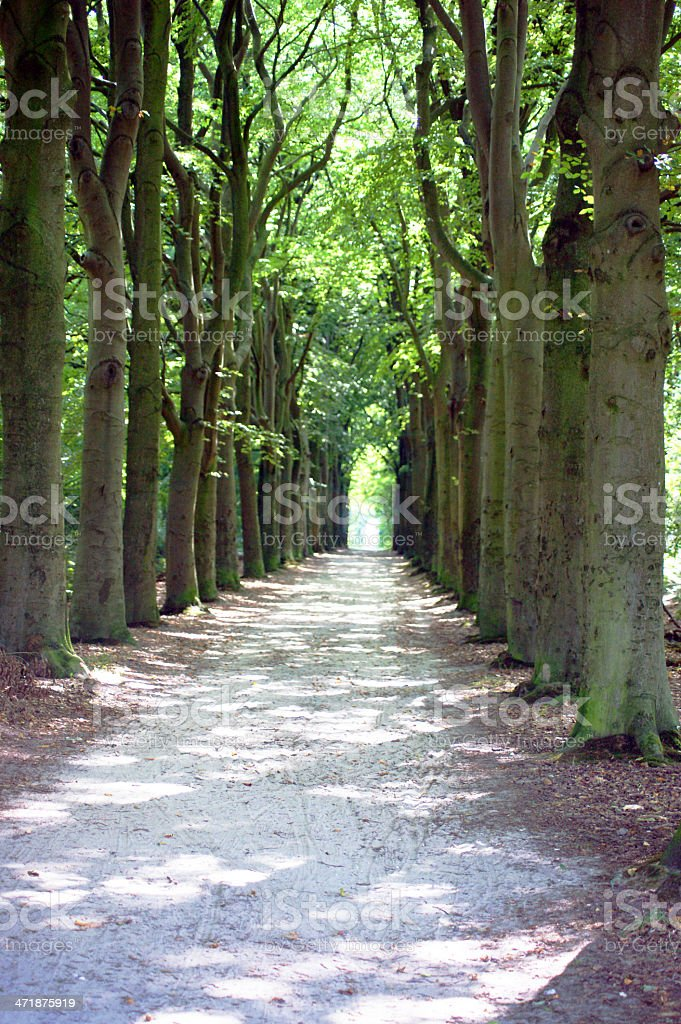 oak tree lane in the Netherlands royalty-free stock photo