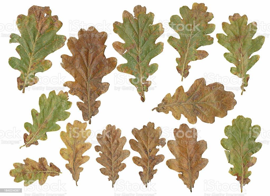oak tree leafs isolated on white background stock photo