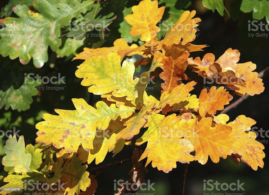 oak tree leaves at autumn royalty-free stock photo