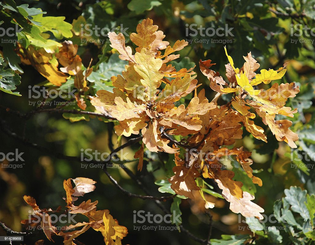 oak tree leaves at autumn royalty-free stock photo