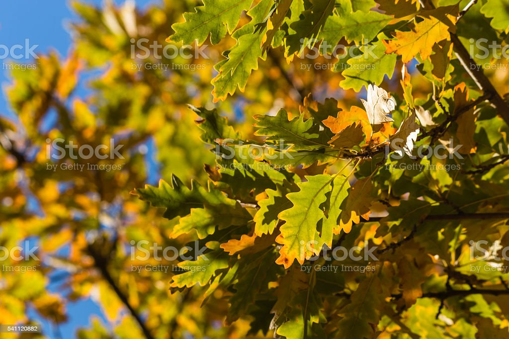 oak tree leaves in autumn against blue sky stock photo