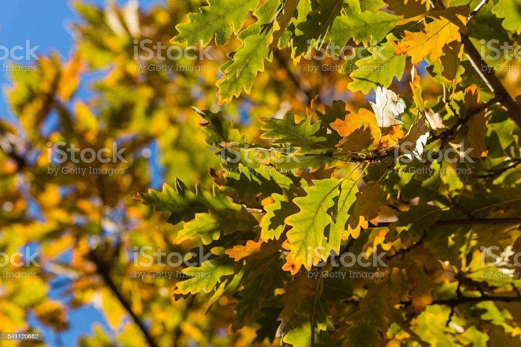 oak tree leaves in autumn against blue sky stock photo