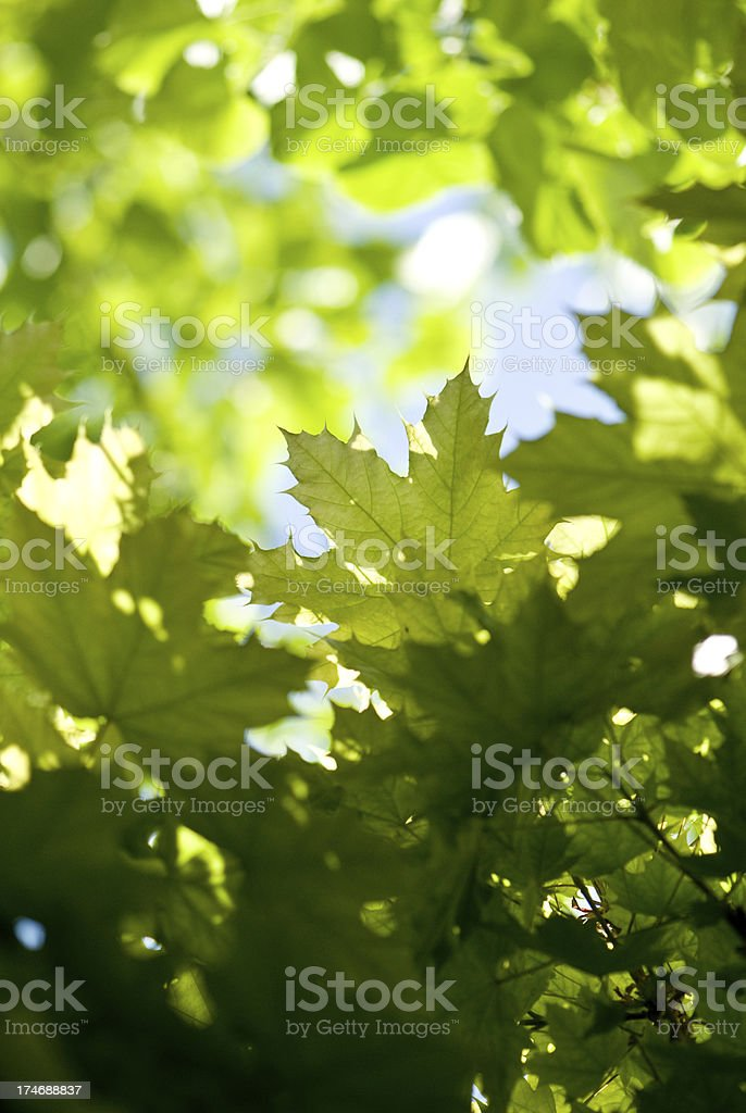 Oak tree leaves in the sun royalty-free stock photo