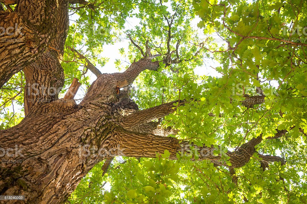 Oak tree leaves summer background stock photo