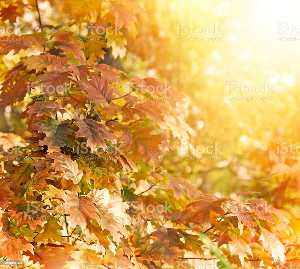 Oak tree - oak leaves lit by sunlight stock photo