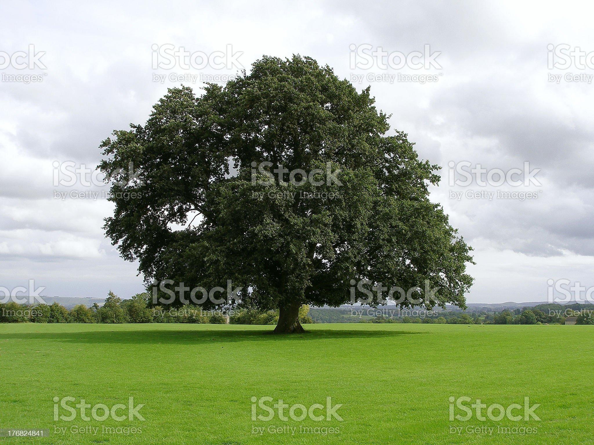 Oak Tree on a Lawn royalty-free stock photo