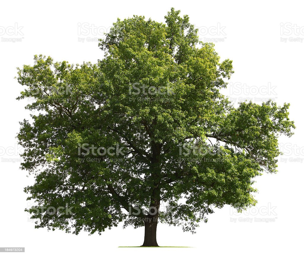 Oak tree on a white background stock photo