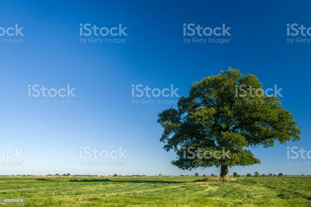 Oak tree on pasture under clear blue sky stock photo