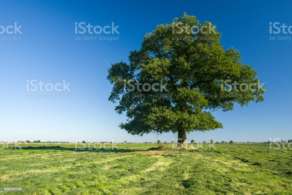 Oak tree on pasture under clear blue sky stock photo