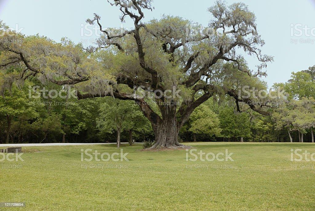 Oak tree on southern plantation royalty-free stock photo