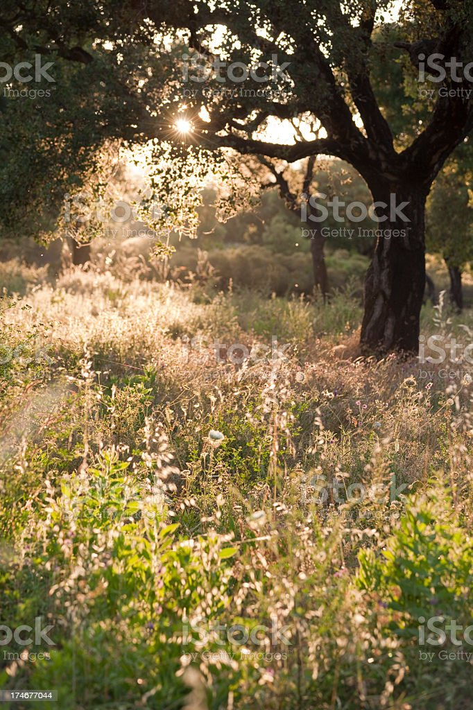 Oak tree on unmown meadow against the evening sun (XXXL) royalty-free stock photo