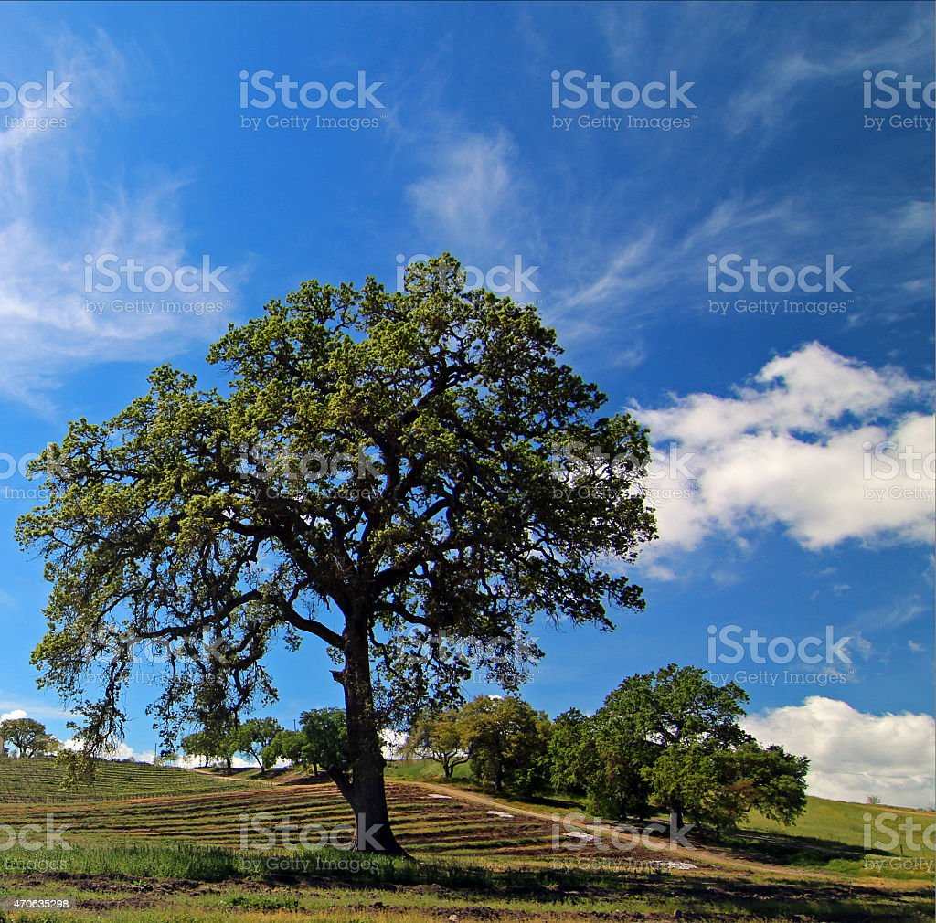 Oak Tree Paso Robles Central California vineyard under cloudy skies stock photo