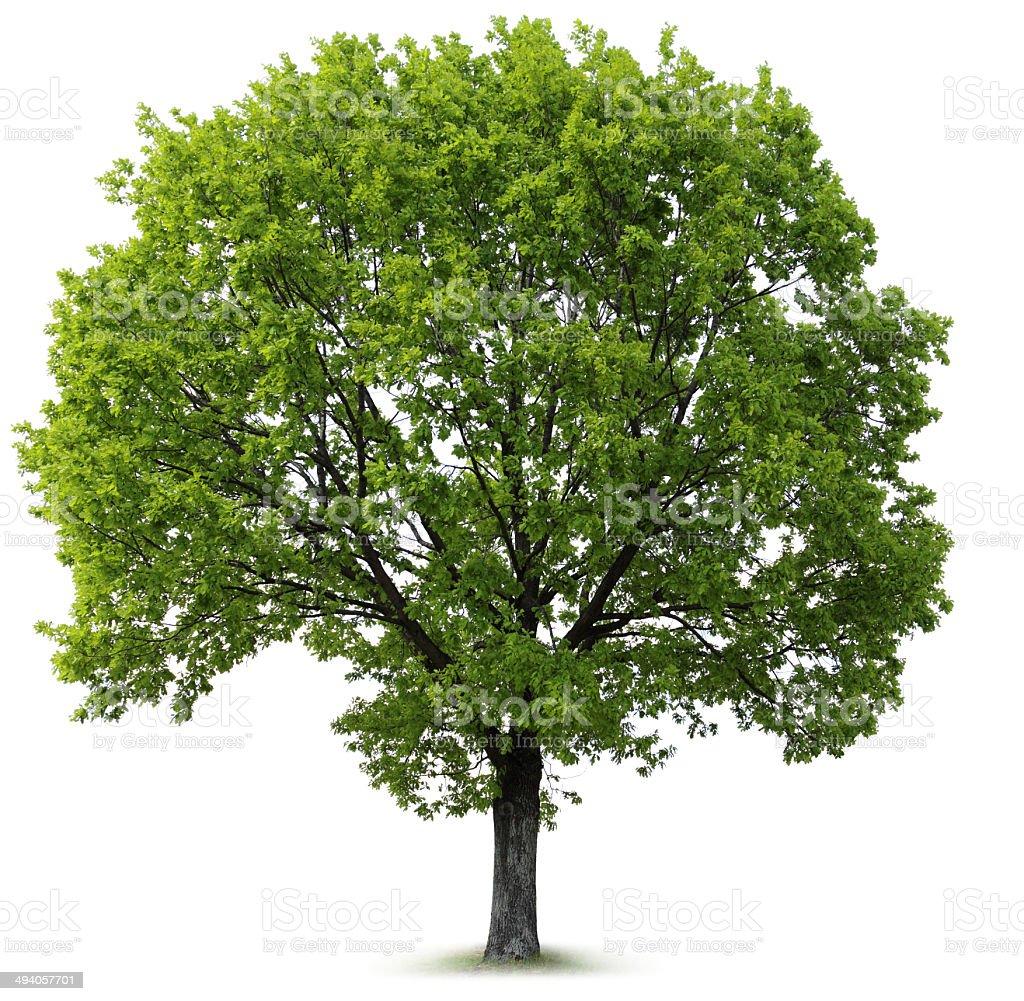 Oak Tree stock photo