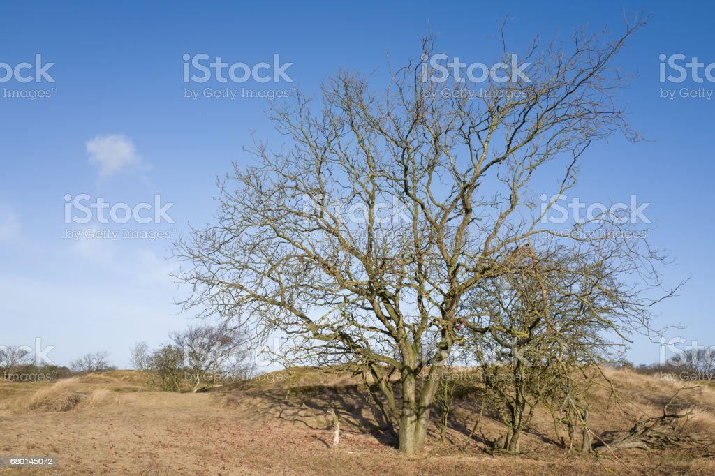 Oak tree. stock photo