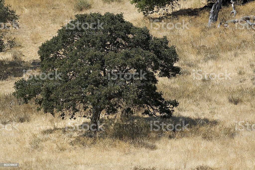 Quercia foto stock royalty-free