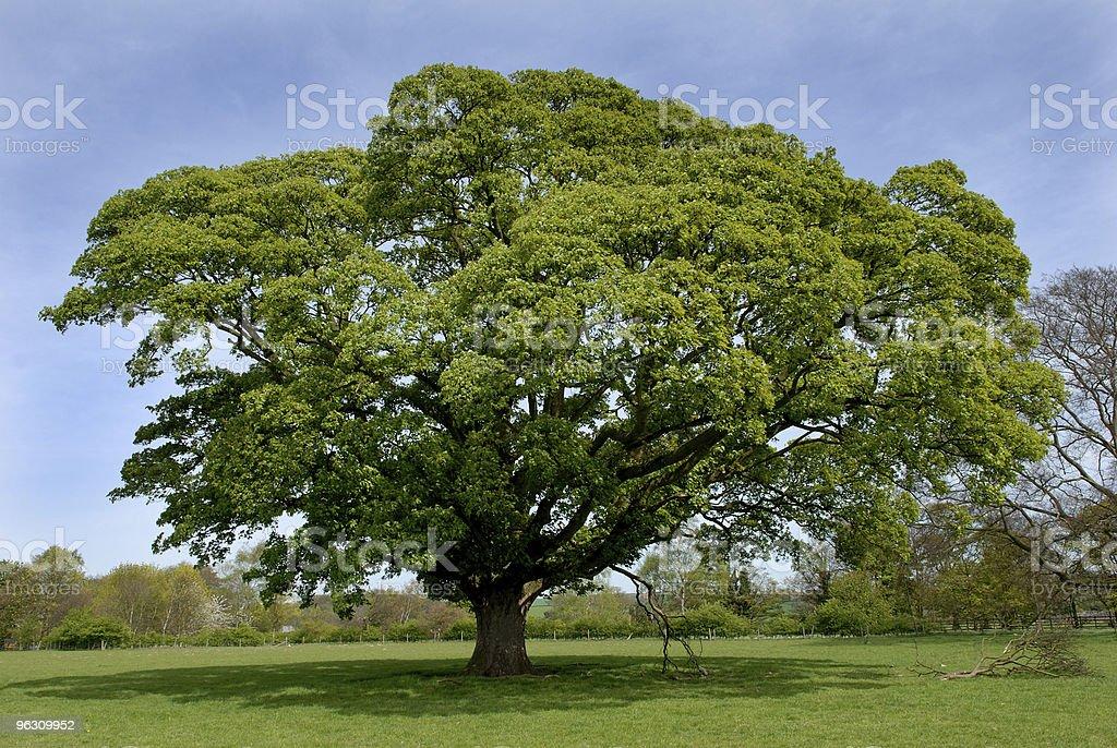Oak tree. royalty-free stock photo