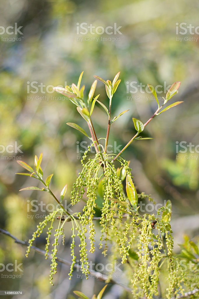 Oak Tree Pollen royalty-free stock photo