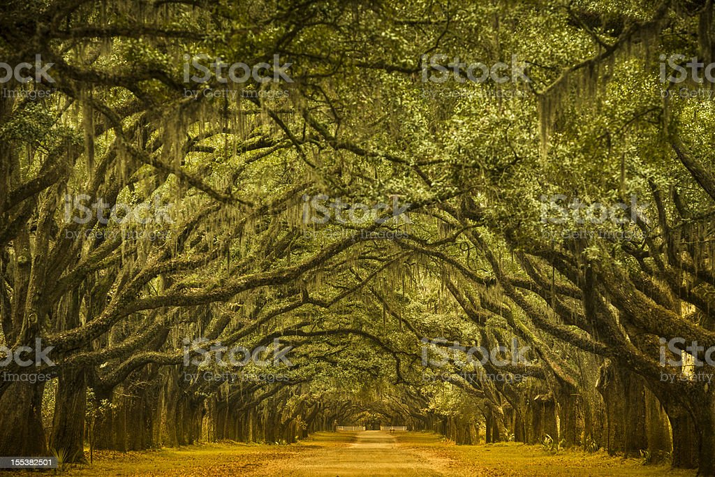 Oak tree road path through the forest stock photo