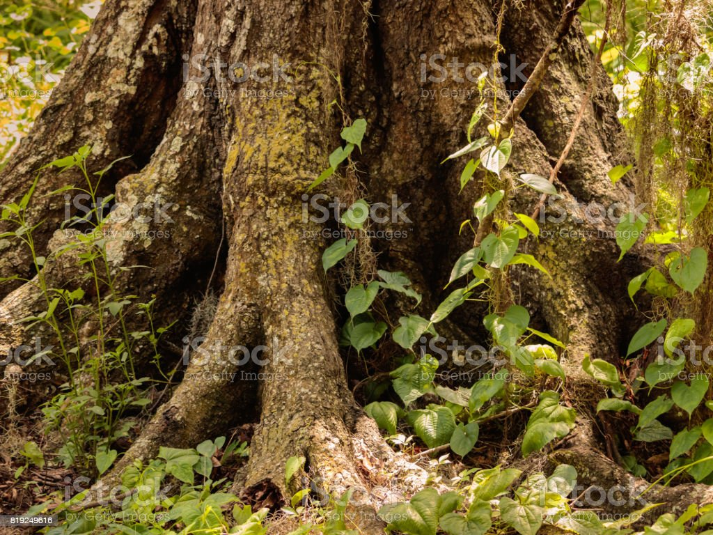 Oak tree roots and understory plants stock photo