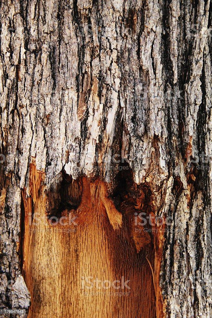 Oak Tree Rotting stock photo