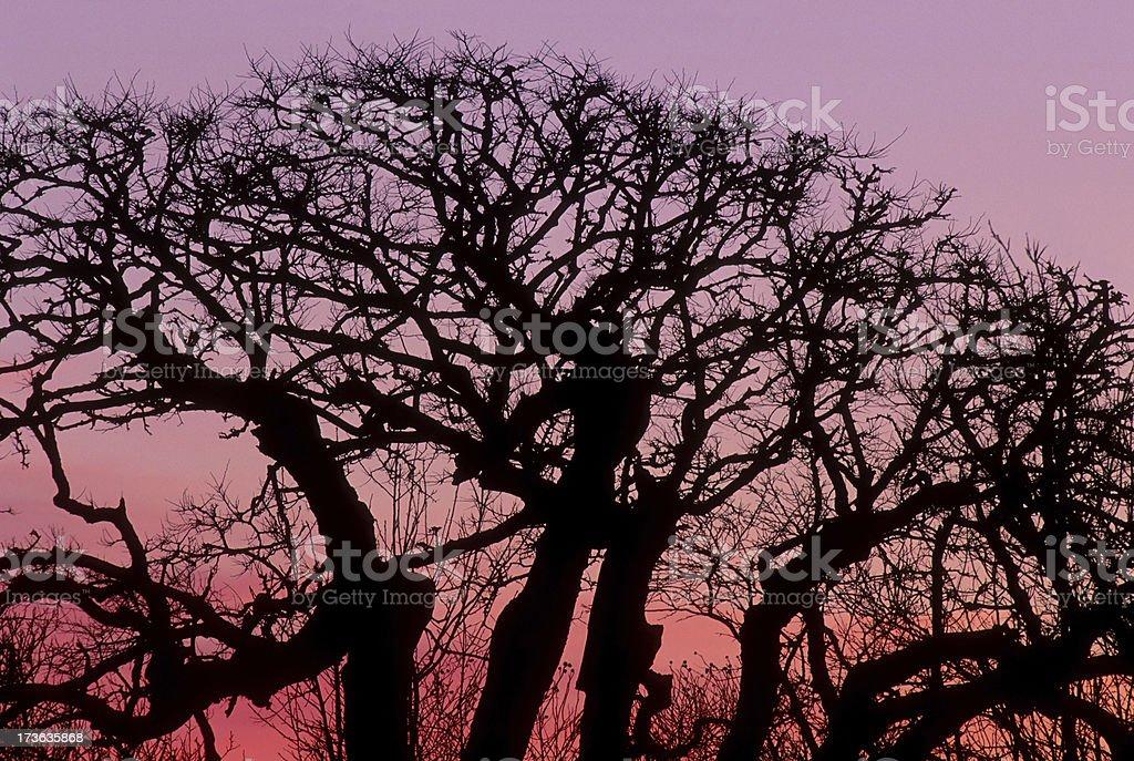 Oak Tree Silhouette in Winter Sunset stock photo
