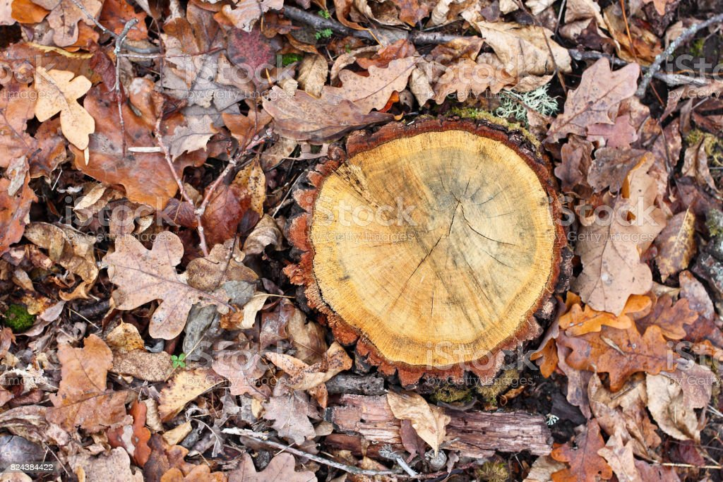 Oak tree stump on a background of brown autumn oak leaves. Cut with...