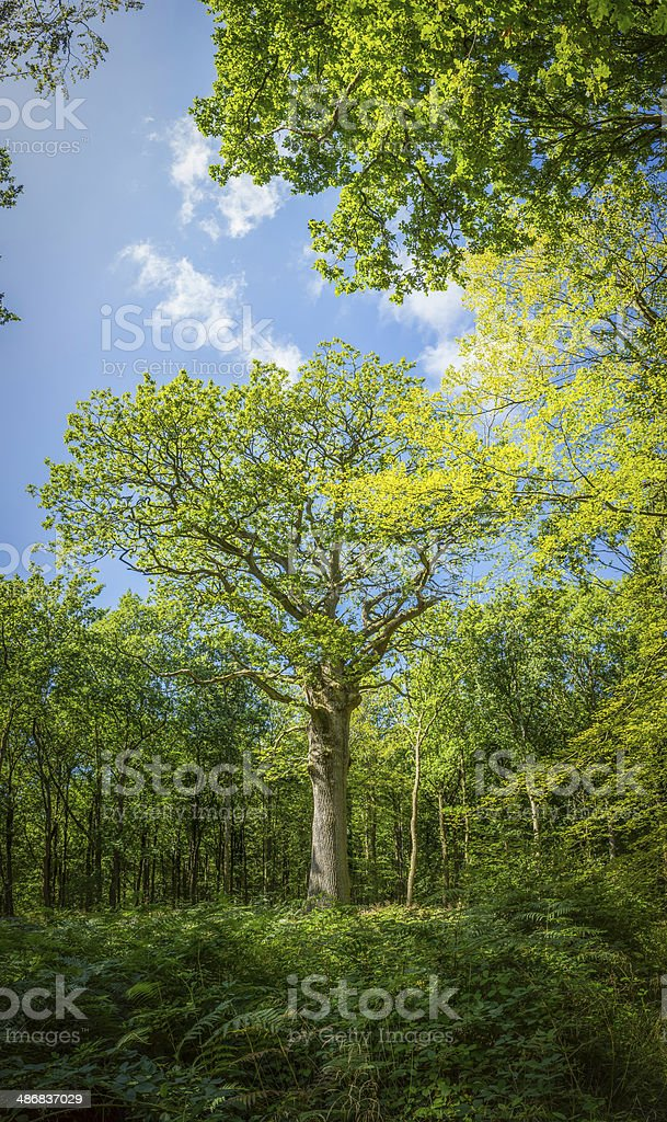 Oak tree summer foliage growing in green fern forest background royalty-free stock photo