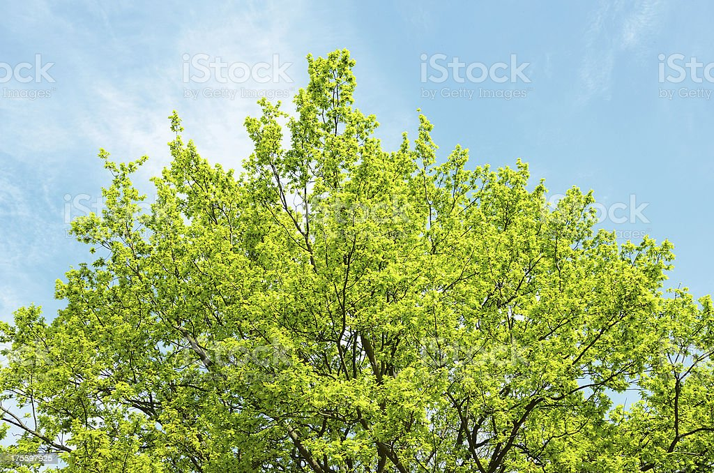 Oak tree treetop against blue sky early spring stock photo