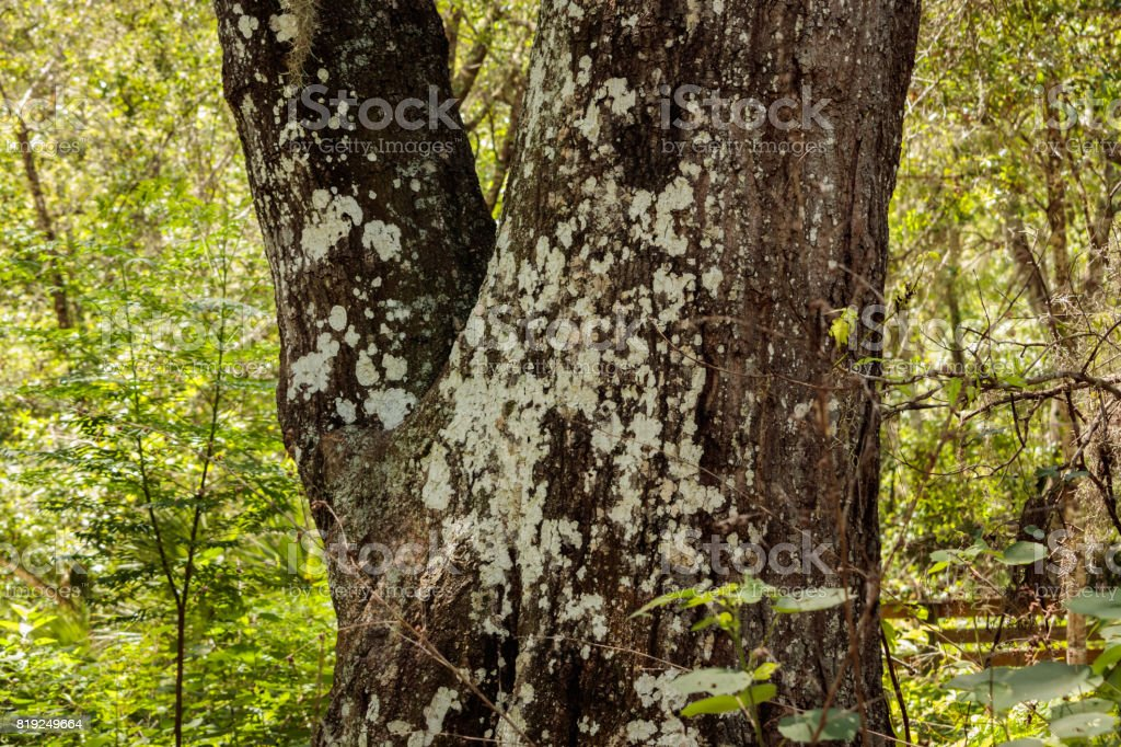 Oak tree trunk fork covered by lichen stock photo