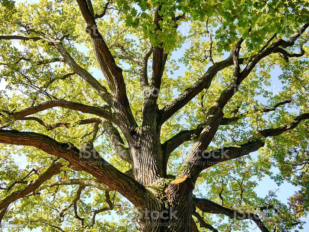 Oak tree trunk top in nature stock photo