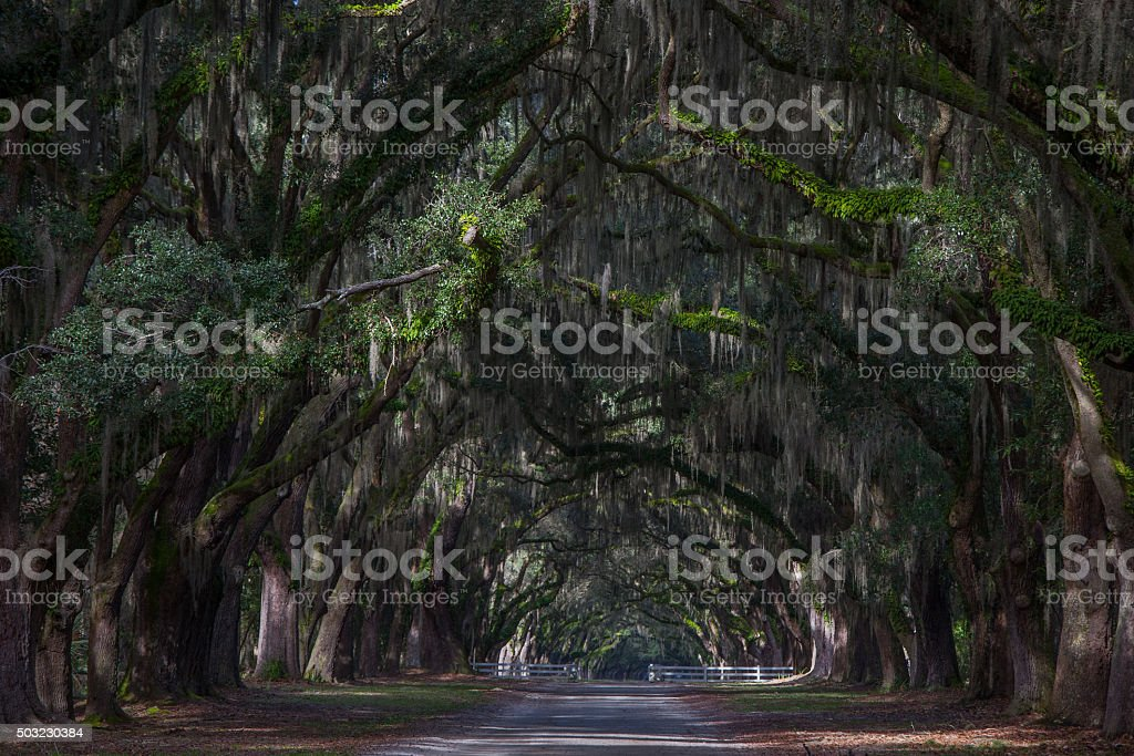 Oak tree tunnel stock photo