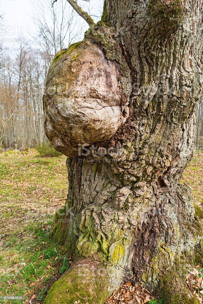 Oak tree with a burl stock photo