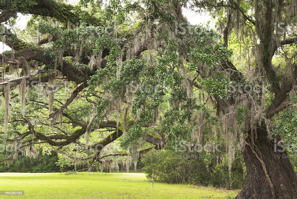 oak tree with hanging Spanish moss in Charleston South Carolina stock photo